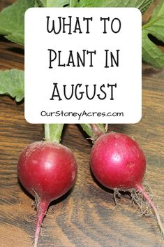 Learn what to plant in your vegetable garden in August for a fall and winter harvest. #fallgardening #vegetablegardening #wintergardening