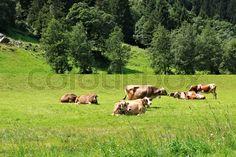 Kühe, Kuh, Tirol, Zillertal, Stilluptal, Kuhherde auf einer Alm | Stock-Foto | Colourbox on Colourbox