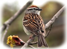 Chipping Sparrow 2