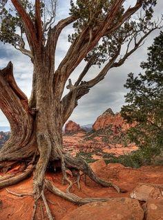 Desert tree - Sedona, Arizona, USA.