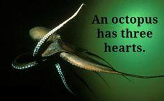 Octopus trivia!