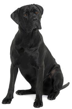 Fotos-bonitas-de-perros-grandes-y-negros.jpg (1051×1600)