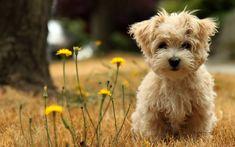 maltese-puppy dog