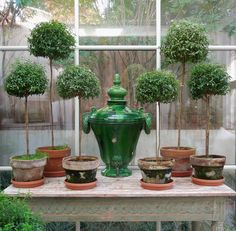 Myrtle topiaries in our little conservatory. The green glazed terra cotta water urn is from Provence (dates to early 1800s). (from Tone on Tone)
