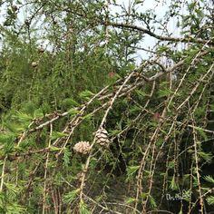 Die Lärche ist ein Nadelbaum. Er wirft jeden Herbst seine Nadeln ab und bekommt im Frühjahr neue. Ein Außenseiter unter den Nadelbäumen. Dandelion, Christmas Ornaments, Holiday Decor, Flowers, Plants, Tree Structure, Autumn, Nice Asses, Dandelions