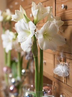 Amaryllis white Christmas supersize 4_bulbs online for sale at Flowerbulbsgarden are top quality Amaryllis white Christmas supersize 4_bulbs. Amaryllis white Christmas supersize 4_bulbs will provide you the nicest amaryllis white Christmas flowers. $57.50 for 4 bulbs
