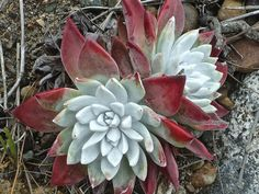 Dudleya farinosa (Bluff Lettuce) is a succulent plant, variable in appearance from drab to spectacular. It grows from a branching caudex...
