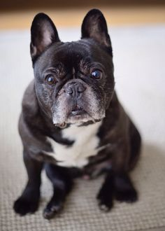 Barnaby Bear #frenchbulldogs