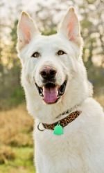 Yukon is an adoptable German Shepherd Dog Dog in Kingwood, TX. Hi my name is Yukon and I am a sweet, even tempered, laid back white German Shepherd. My foster mom tells me all the time how massive I a...