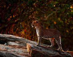 ¿Cuántos parques nacionales encuentras en Sri Lanka? ¿Qué verás en cada uno de ellos? #srilanka #parques #leopardos
