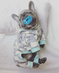 Blue French Bulldog Puppy in Jammie's, from the Frenchie Store, www.thefrenchiestore.com