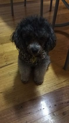 Coco Toy Poodle | Pawshake Hughesdale