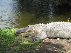 Day #7 - Baby alligator @Everglades Safari Park