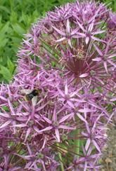 These Allium cristophii bulbs produce large clusters of purple star-shaped flowers, ideal for growing in the flower border. Bulb Flowers, Purple Flowers, Allium, Flower Seeds, Garden Supplies, Star Shape, Garden Inspiration, Bulbs, Perennials