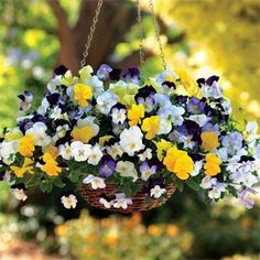 For Fall/Winter In The West: Cool Wave Pansies In Hanging Basket