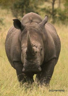 What a gorgeous full view of this amazing creature the rhino! #krugerpark #rhino #wildlife www.outlook.co.za