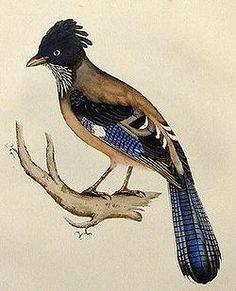 El arrendajo cabecinegro (Garrulus lanceolatus)2 es una especie de ave en la familia Corvidae. Su tamaño es casi el mismo de su pariente el arrendajo euroasiático, aunque un poco más delgado aunque su pico es levemente más corto y más grueso. La parte superior de su cabeza es negra, su cresta es un poco más obvia y su cola es más larga.  Habita desde el este de Afganistán