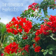 The flowers of Barbados