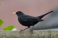 Black Is Beautiful, Beautiful Birds, Blackbird Song, Merle, Blackbird Designs, Black Garden, Colorful Birds, Wild Birds, Bird Art