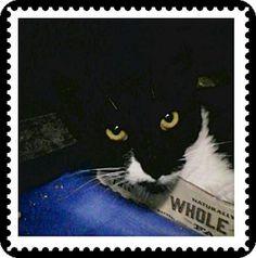 Trevose, PA - Polydactyl/Hemingway. Meet Bebe, a cat for adoption. http://www.adoptapet.com/pet/16626080-trevose-pennsylvania-cat
