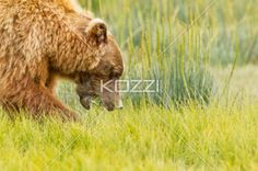 chowing down - A brown bear about to chomp on some grass