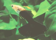Here a long list types of amazing Guppy in the world. #Guppies #Guppy #TypesofGuppy #TypesofGuppies