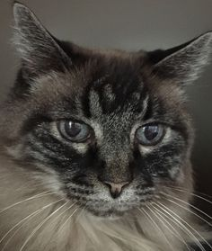 Ling Ling is an adult Himalayan blend whose owner recently passed away. She is spayed, vaccinated and litter-box trained. She is very affectionate and social. See all the league's adoptable pets at www.acawl.org. For an application visit Another Chance Animal Welfare League Adoption Center and Thrift Store, 9384 Deschutes Road Suite #D, Palo Cedro; hours are 10 a.m. to 4 p.m. weekdays, 10 a.m. to 3 p.m. Saturdays. Call 229-7833.  See more pets at www.redding.com.