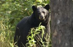 After months of unsuccessful attempts, Traverse City bear trapped by DNR | Interlochen