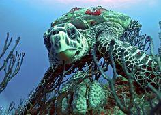 Hawksbill sea turtle dining on a sponge, Juno Beach. Fla. (Thomas Green/Smithsonian)