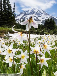 Fields of White Avalanche Lilies bloom in late July along the trail in Spray Park, in Mount Rainier National Park, Washington, USA. Beautiful World, Beautiful Places, Beautiful Pictures, Landscape Photography, Nature Photography, Flower Photography, Spray Park, Mount Rainier National Park, Lily Bloom