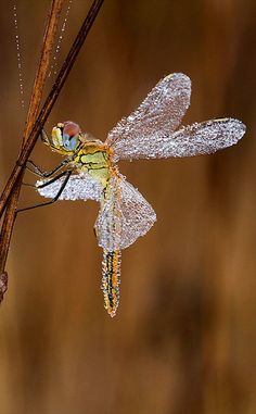 Like a dainty Fairy . This enchanting photo of a docile dew-covered dragonfly was snapped by Claudio Pia. Beautiful Bugs, Beautiful Butterflies, Amazing Nature, Beautiful Creatures, Animals Beautiful, Cute Animals, Dragonfly Photos, Dragonfly Insect, Foto Macro