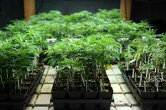 Pain sufferers welcome medical marijuana-Jo Anne Prusynski and Kim Becker do not know each other but have something in common — pain.  Both also look to weed for relief. *Some information on MMJ for Fibromyalgia/Rheumatoid arthritis