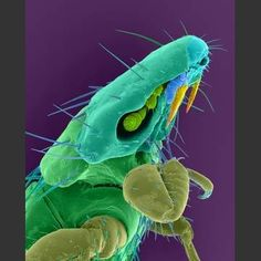 Dog-Chewing Louse
