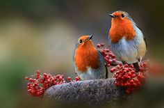 photo by Lyn Evans  Two beautiful British Robins.