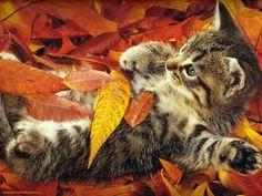 Kitten in autumn leaves