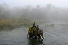 A Nepalese mahout guides his elephant across the Rapati River during the Chitwan Elephant Festival on December 29, 2013.
