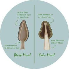 Save your stomach and learn the important difference between real and false morel mushrooms. Two key indicators separate the two spring fungi. Edible Wild Mushrooms, Growing Mushrooms, Stuffed Mushrooms, Mushroom Guide, Mushroom Identification, Edible Wild Plants, Mushroom Hunting, Mushroom Fungi, Wild Edibles