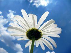 Upside down daisy by rkramer62, via Flickr