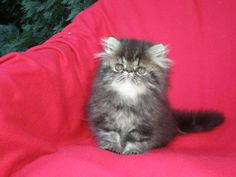 Persian kitten for sale - UMBIGO La Capuccino, CZ, brown-tabby male at 8 weeks
