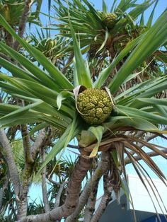Pandanus  Eat The Weeds and other things too