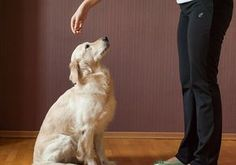 Ensinar ordens ao seu cão não é um mero capricho, ajuda a estimulá-los e pode ser muito útil! #adestramento #cães #cachorro #animais