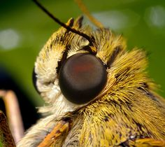 Skipper Head | Flickr - Photo Sharing!