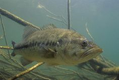 largemouth bass underwater