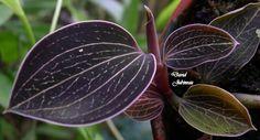 Orchid-Foliage: Anoectochilus albolineatus