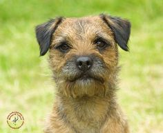 Border Terrier. I need one.