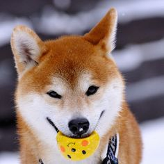 """Area Dog Finally Catches All the Pokemon According to sources close to the situation, a local Shiba Inu was finally able to catch all the Pokemon on Wednesday. """"Hes been after those little buggers for years,"""" said John Walsh, a friend of the pup. He was able to catch most of them pretty easily, but that Pikachu proved really, really difficult. Hes a clever one."""" Now that the dog has caught all of the Pokemon it is unclear what he intends to do with them. Via black_red_jp."""