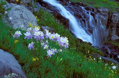 Photo of columbine and a waterfall in Robinson Basin near Crested Butte, CO By Andy Cook