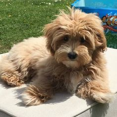 Cavapoo Breeders, Cavapoo Puppies, Maltipoo, Dogs And Puppies, Doggies, South East England, Mans Best Friend, Cute Dogs, Cute Animals