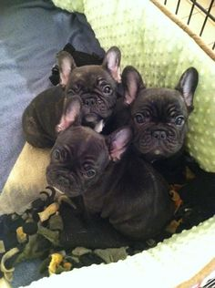 Frenchie Huddle!! :) too cute