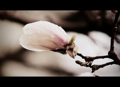 steeped blossoms